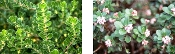 Arctostaphylose Uva-Ursi (Bearberry) - Single Plants