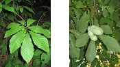 ASIMINA TRILOBA (pawpaw) - Single Plants