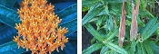 Asclepias tuberosa - Butterfly Weed - Single Plants