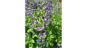 BAPTISIA AUSTRALIS (blue wild indigo) Single Plants