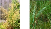 ELYMUS RIPARIUS (riverbank wild-rye) - Single Plants