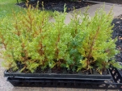 JUNIPERUS VIRGINIANA (eastern red-cedar) - Single Plants