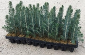 Colorado Blue Spruce Seedlings - Single Plants