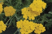 Achillea 'Coronation Gold' - Single Plants