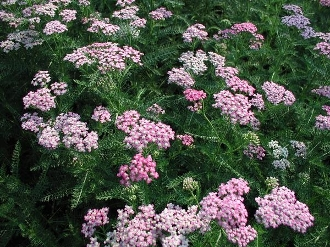 Achillea m.'Oertel's Rose' - Single Plants