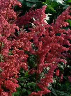 Astilbe Red  (Fanal) - Single Plants
