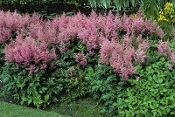 Astilbe, Pink  (Rhineland) - Single Plants
