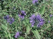CARYOPTERIS x cland. 'Longwood Blue'  - Single Plants