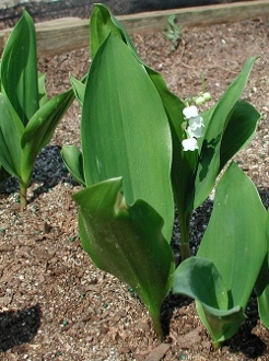 Convallaria majalis - Single Plants