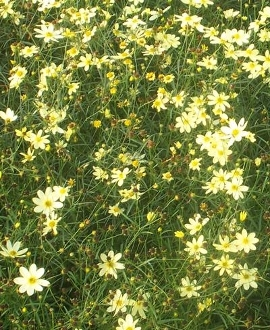 Coreopsis verticillata 'Moonbeam' - Single Plants