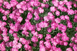 Dianthus gratianopolitanus 'Fire Witch' - Single Plants