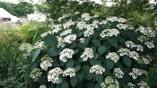 HYDRANGEA arborescens 'Haas Halo' - Single Plants