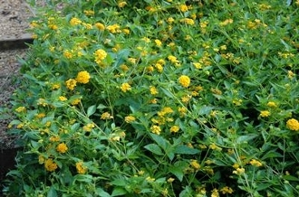 Lantana 'New Gold' - Single Plants