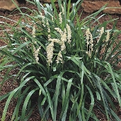 Liriope m. 'Monroe White' - Single Plants