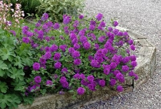 Verbena x. 'Homestead' - Single Plants