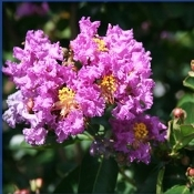 Crape Myrtle Catawba (Purple) - Single Plants