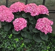 HYDRANGEA macrophylla 'Merritt Supreme' - Single Plants