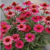 Echinacea 'Kismet™ Raspberry' - Single Plants