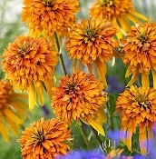 Echinacea Marmalade - Single Plants