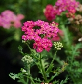 Achillea 'New Vintage™ Rose' - Single Plants