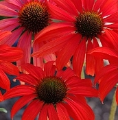 Echinacea 'Tomato Soup' - Single Plants