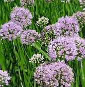 Allium 'Summer Beauty' - Single Plants