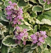 Ajuga 'Pink Lightning'  - Single Plants