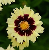 Coreopsis 'Uptick Cream and Red' - Single Plants