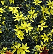 Coreopsis 'Electric Avenue' - Single Plants