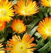 Delosperma 'Wheels of Wonder™ Orange Wonder' - Single Plants