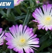 Delosperma 'Wheels of Wonder™ Violet Wonder' - Single Plants