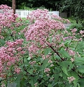 EUPATORIUM maculatum 'Gateway'  -Single Plants