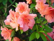Azalea DUC DE ROHAN -- (PINK) - Single Liner Plants