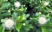 Cephalanthus 'Magical Moonlight' (Buttonbush) - Single Plants