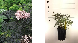 Black Lace Elderberry - Single Plants