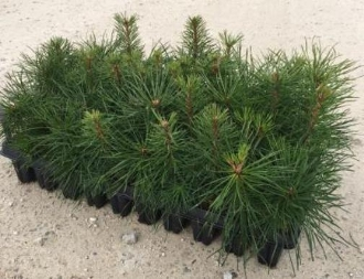 Scotch Pine Seedlings - Single Plants