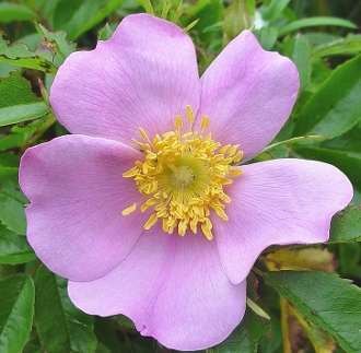 Rosa virginiana - Virginia Rose - Single Plants