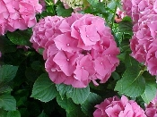 HYDRANGEA 'Forever Pink' - Single Plants