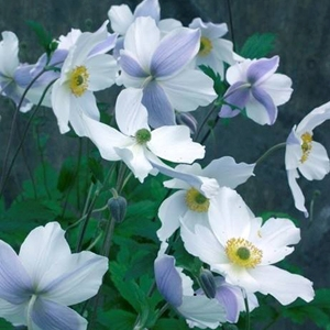 ANEMONE 'Wild Swan - 6-Pack of Plants