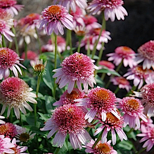ECHINACEA purpurea 'Butterfly Kisses' - 6-Pack of Plants
