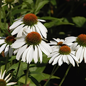 Echinacea p. White Swan - Single Plants