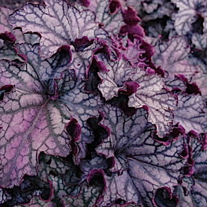 HEUCHERA 'Frosted Violet' - 6-Pack of Plants