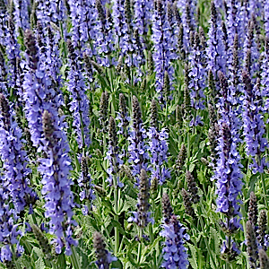 SALVIA nemorosa 'Blue Hill' - 6-Pack of Plants