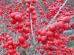 ILEX VERTICILLATA (winterberry holly) - Single Plants