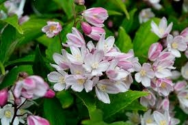DEUTZIA GRA. 'YUKI CHERRY BLOSSOM' - Single Plants