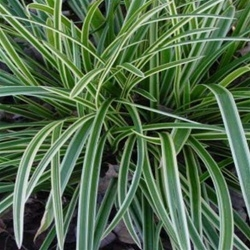Carex mo. Ice Dance - 6-Pack of Plants