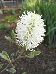 FOTHERGILLA GAR. 'BLUE SHADOW' - Single Plants