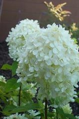 HYDRANGEA PAN. 'LIMELIGHT' - Single Plants