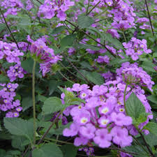 Purple Lantana - Full Flat of 50 Liner Plants