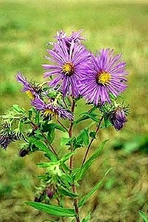 New York Aster - Single Plants